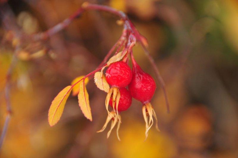 Berries, Melting Snow Flake - Moose Juntion, Teton National Park