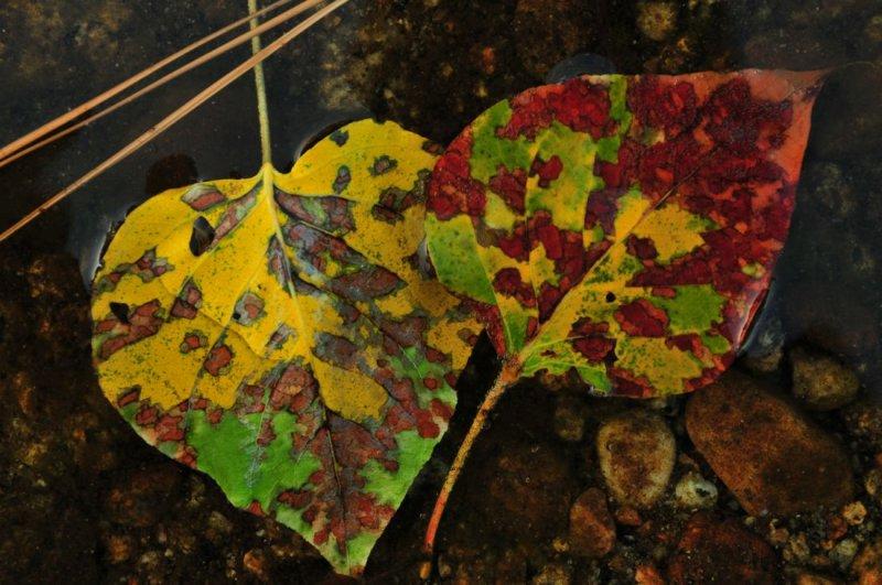 Black Cottonwood Leaves in the Merced River, Near Residence 1, Yosemite