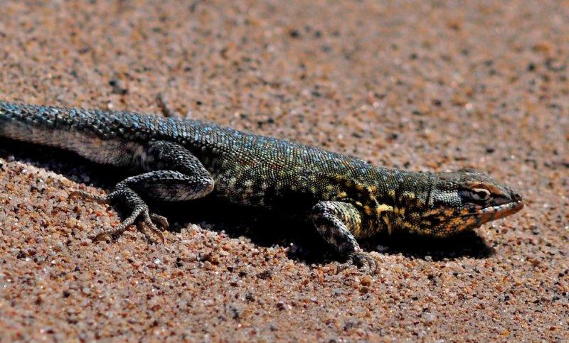 Lizard at Salt Creek