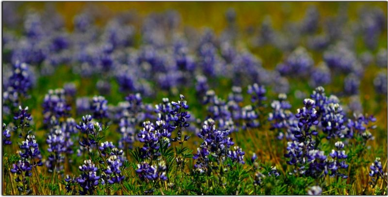 Lupines on Table Mountain Above Oroville, California