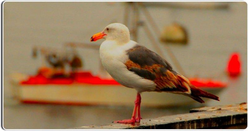 Seagull, Monterey, California