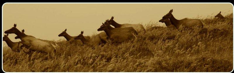 Tule Elk, Point Reyes