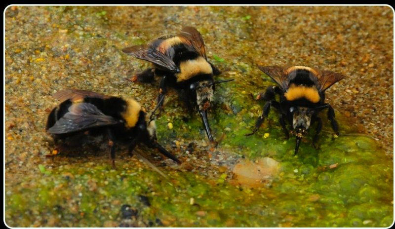 Bees Drinking from a Shallow Stream, Point Reyes