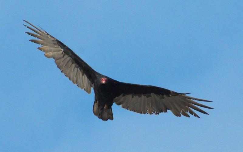 Turkey Vulture #2