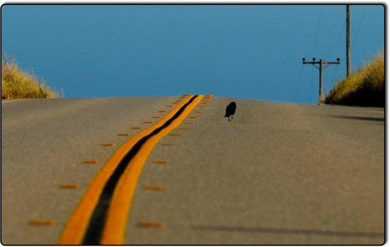 Raven on the Road near Piedras Blancas