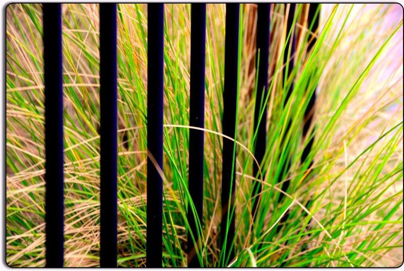 Fence and Grass, Petaluma