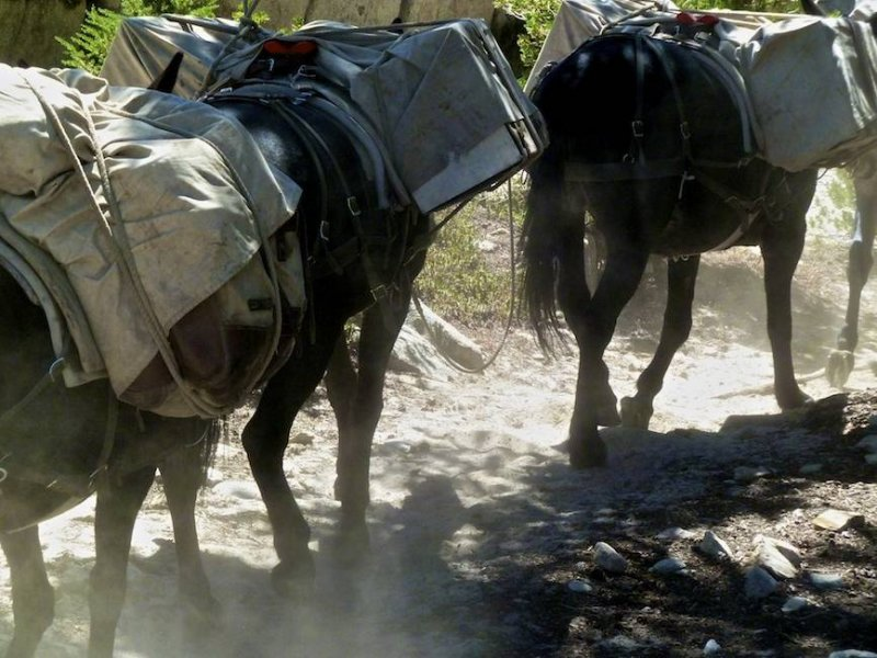 Mules on the dusty trail.