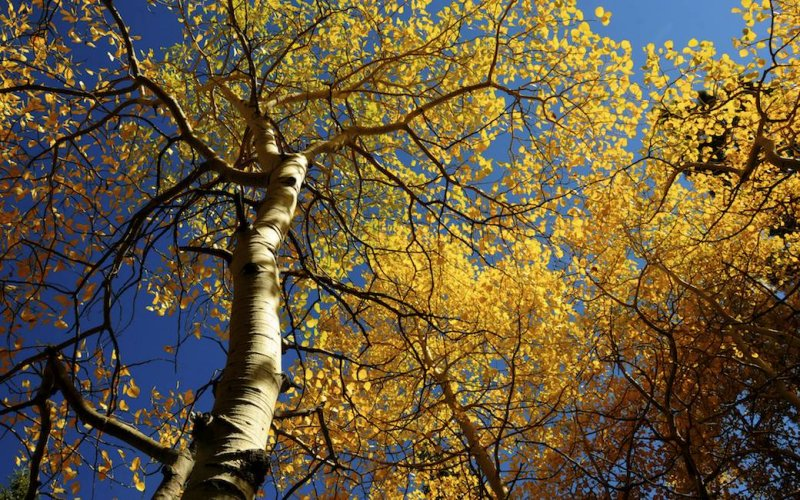 Looking up at the Aspens