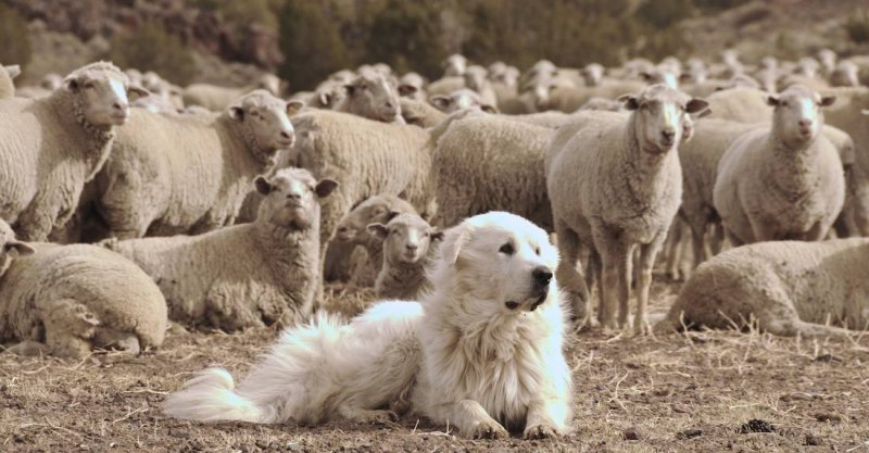 Great Pyrenees and His Flock