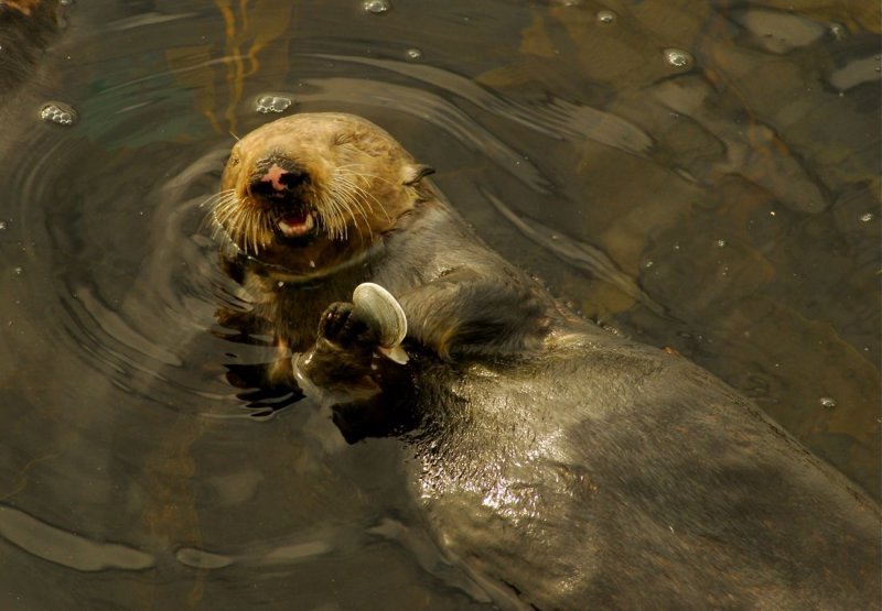 Sea Otter With Snack
