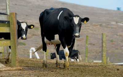 Cattle on the Point Reyes Peninsula