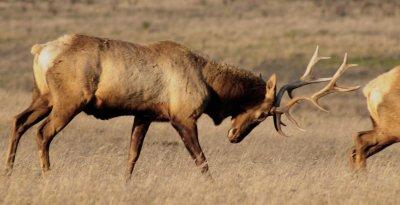 Bull Elk #1