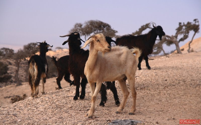 ... just goats - somewhere in Morocco