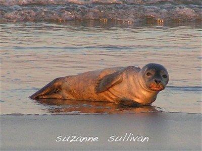 harbor seal plumisland.jpg