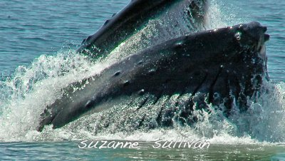 humpback feeding jeffery's ledge