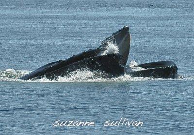 pair humpaback whales