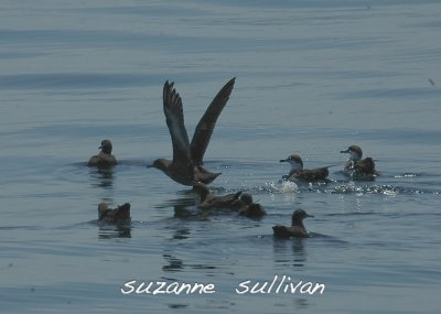 sooty and greater shearwaters