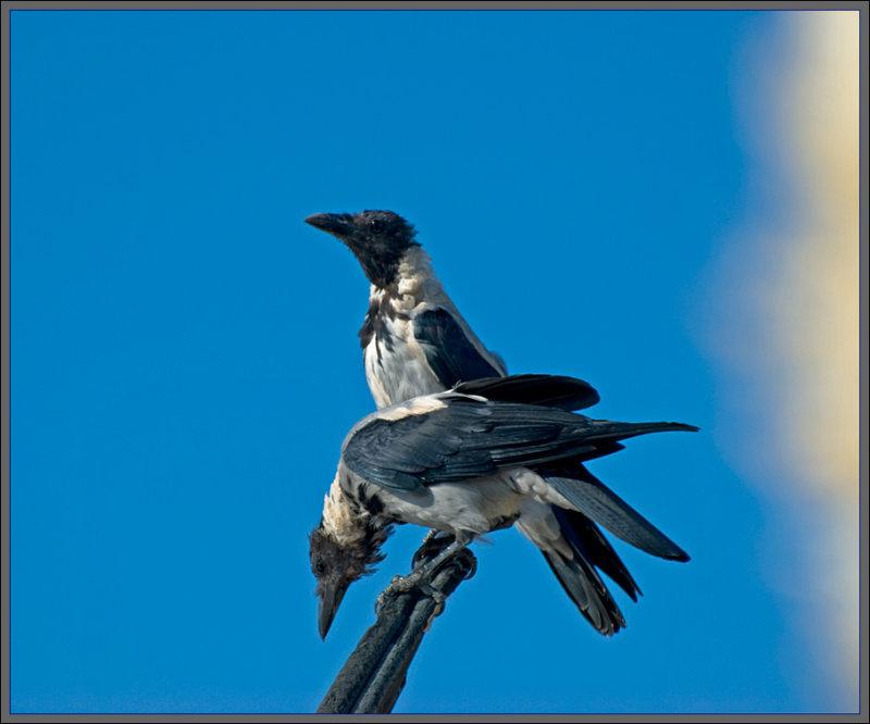 Double crow