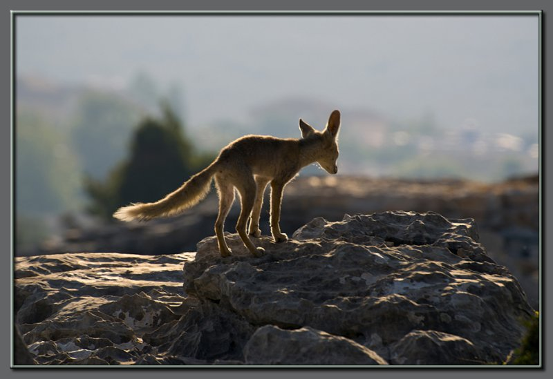 Mr. Lonely... the fox