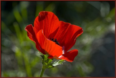 First poppy image of 2009