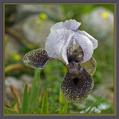 Iris of Nazareth