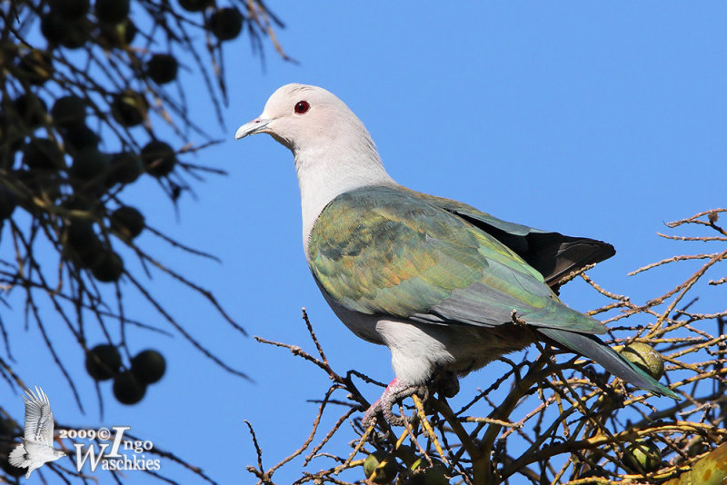 Adult Green Imperial Pigeon