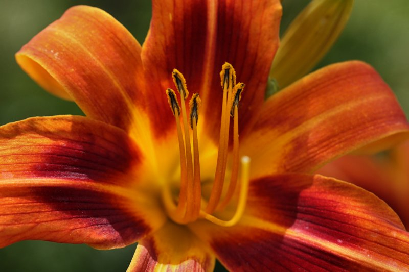 Tiger Day Lily Macro<BR>July 12, 2010