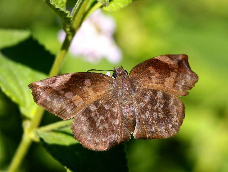Sickle-winged Skipper (Eantis tamenund)