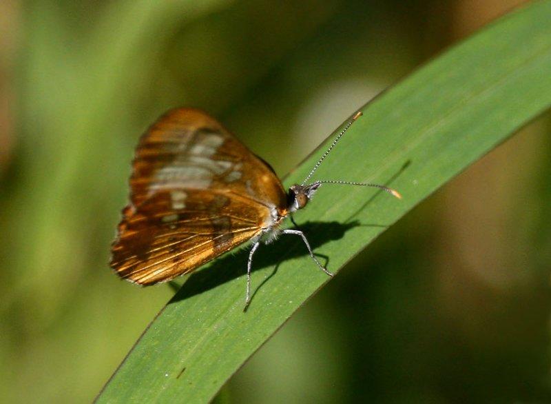 Common Mestra (Mestra amymone)