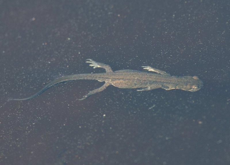 Mindre vattensalamander  (Triturus vulgaris)