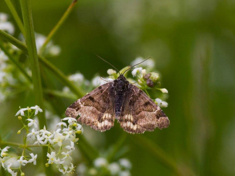 Gulbrokigt slåtterfly (Euclidia glyphica)