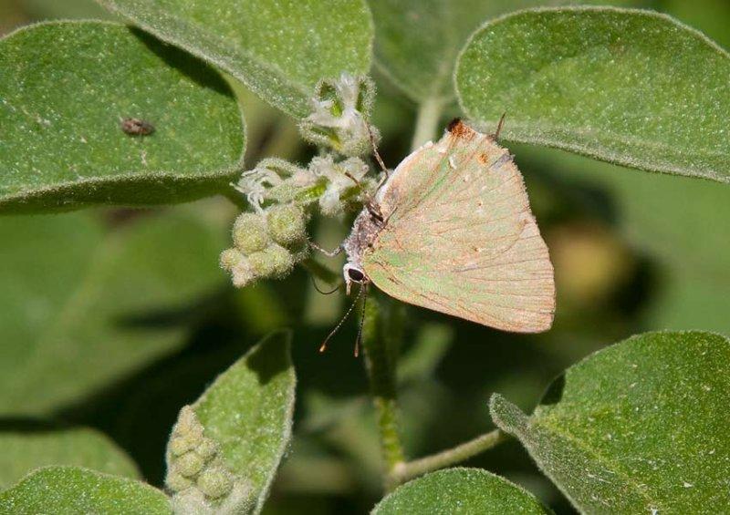 Tropical Greenstreak (Cyanophrys herodotus)