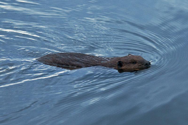 Beaver on Lake Montclair