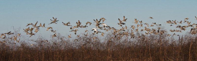 Sandhill Cranes and Two Whooping Cranes in Flight