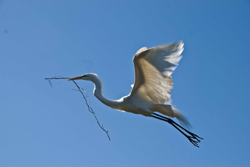 Great White Egret with Nesting Material