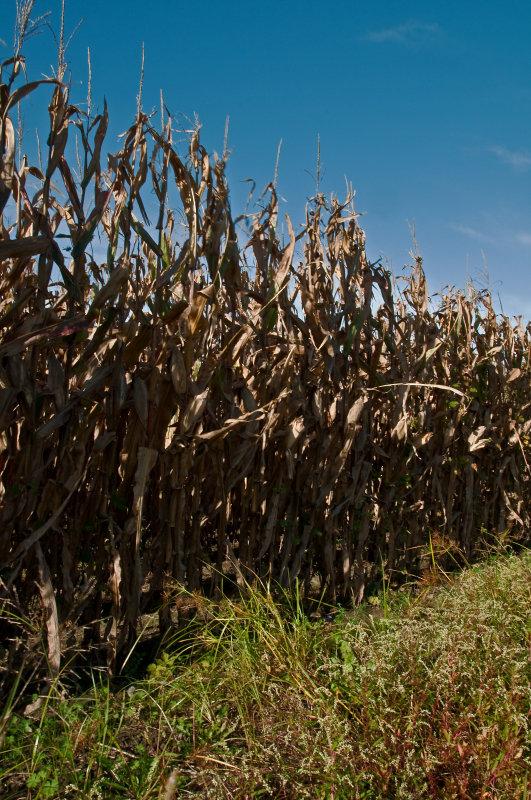 Corn Field on the Eastern Shore