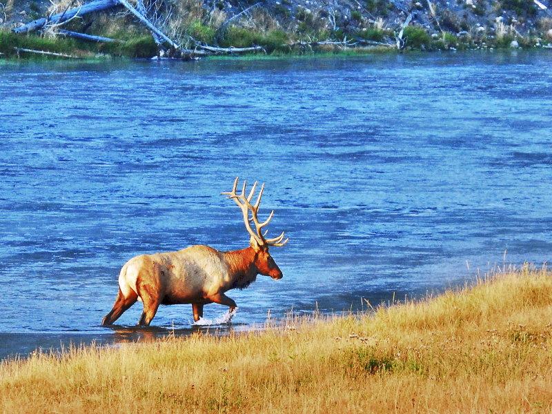 Western Yellowstone Wildlife