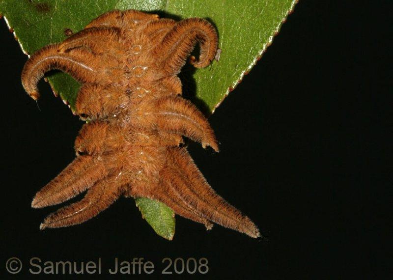 Phobetron pithecium (Monkey Slug / Hag Moth)