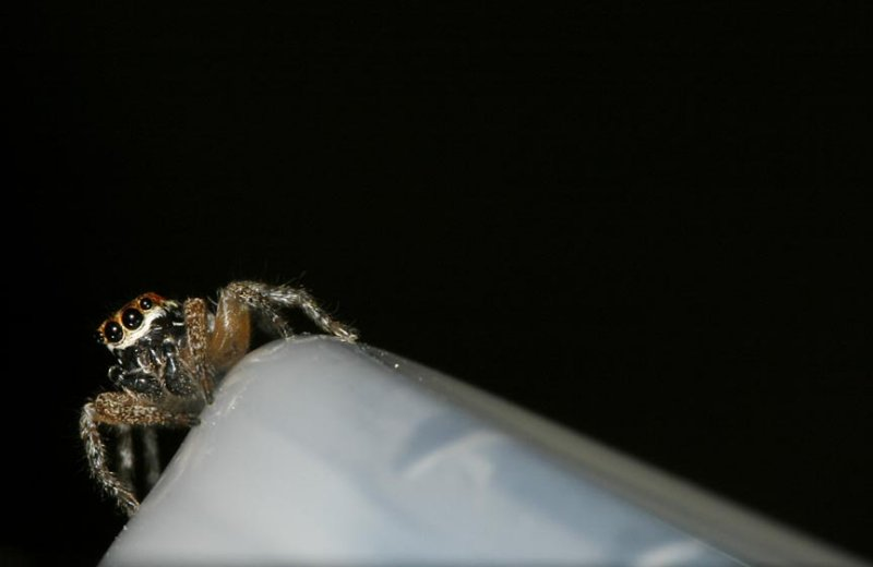 Maevia inclemens (Dimorphic Jumping Spider)