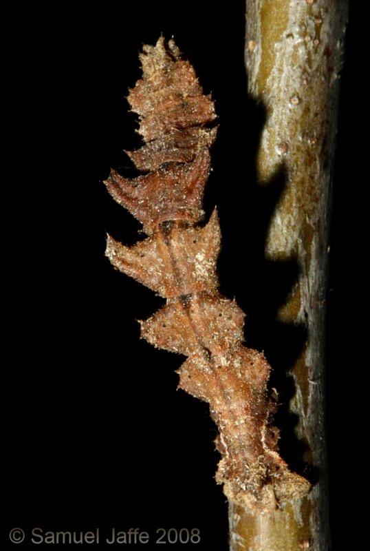 Nemoria sp. bistriaria? (Emerald Moth)