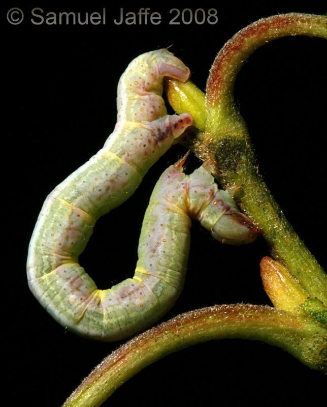 Cabera erythemaria - Yellow-dusted Cream Moth
