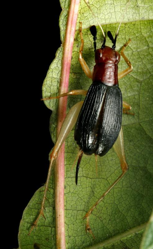 Phyllopalpus pulchellus (Handsom Trig)
