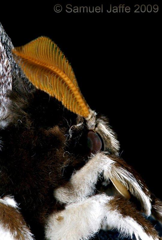Rothschildia orizaba orizaba Head Detail