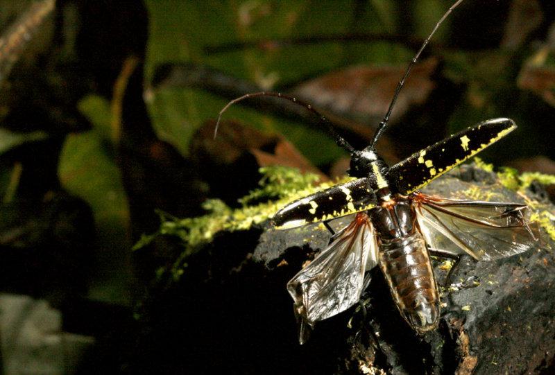 Monteverde Cerambycid Beetle