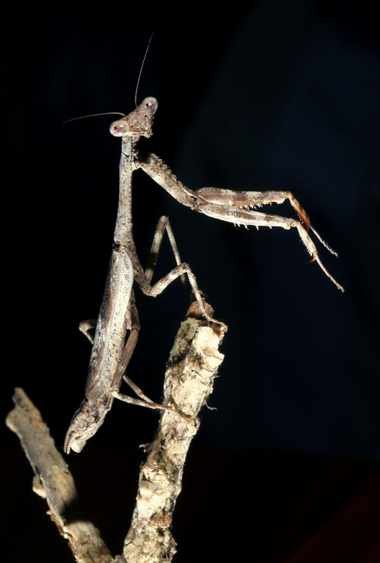 Mantid Species San Jose