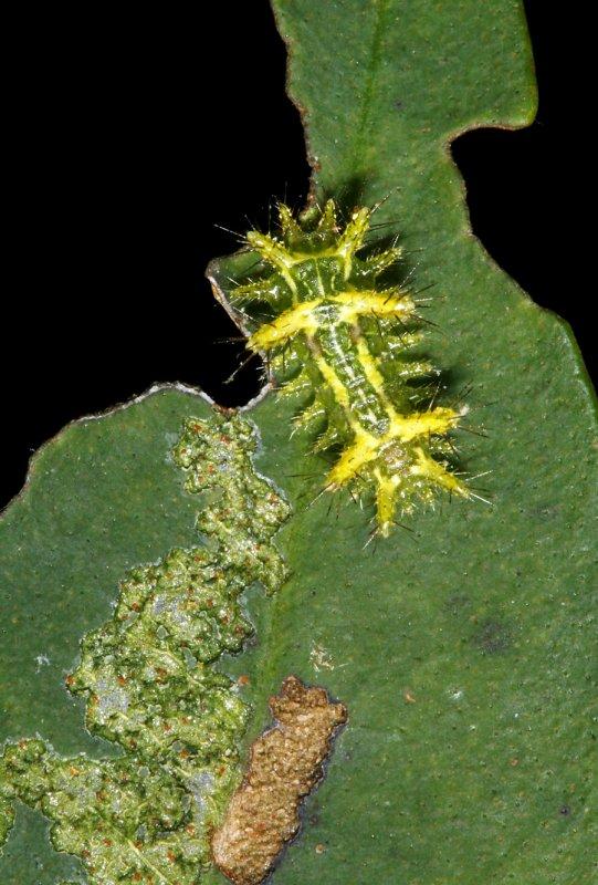 Spiney Slug - Euclea sp. Monteverde