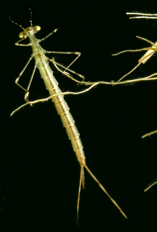 Damselfly Larvae Sp2