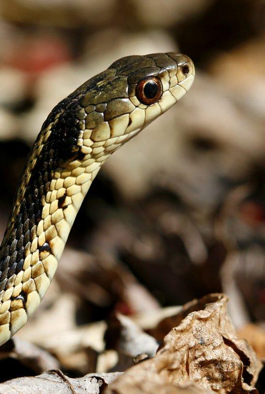 Thamnophis sirtalis sirtalis - Garter Snake
