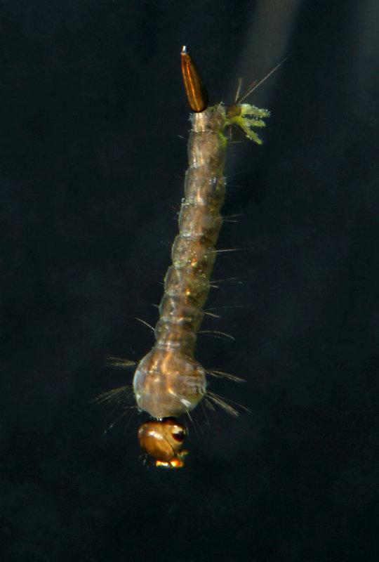 Mosquito Larva