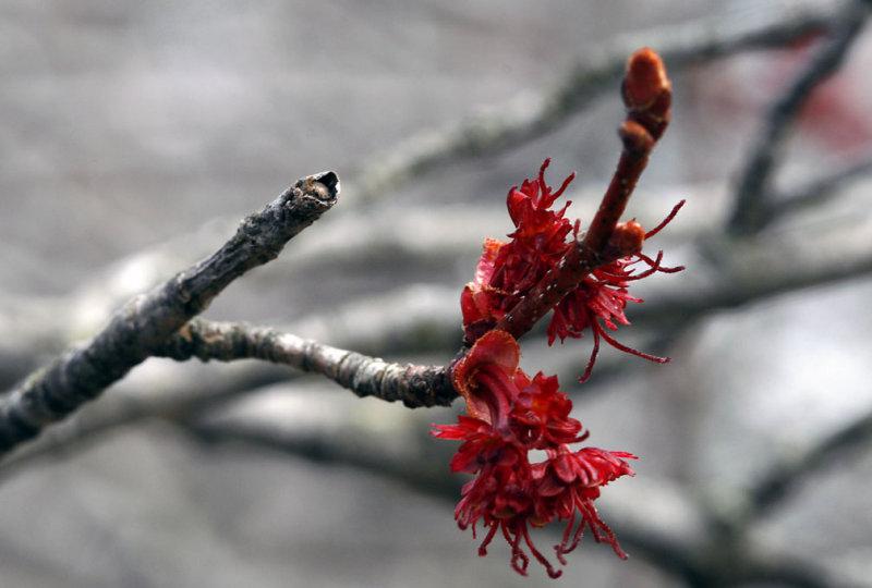 Red Maple Flower